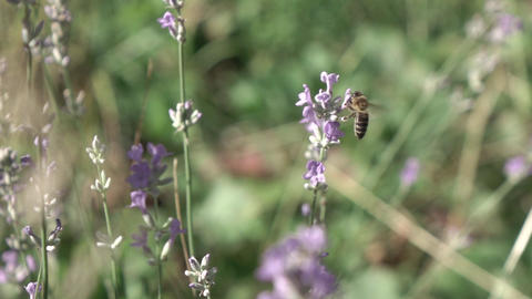 Honeybee is gathering honey or pollen on a beautiful lavender flowers Live Action