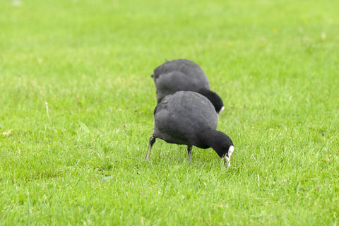 Eurasian Coots Eating Grass At Amsterdam The Netherlands 29-7-2020 フォト