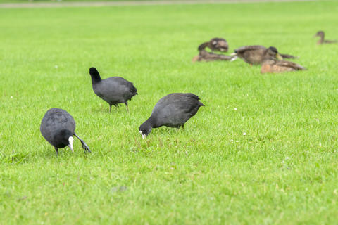Eurasian Coots Eating Grass At Amsterdam The Netherlands 29-7-2020 Photo