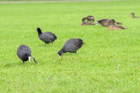 Eurasian Coots Eating Grass At Amsterdam The Netherlands 29-7-2020 Fotografía
