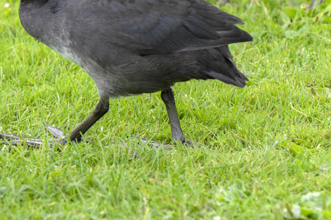Foot Of Eurasian Coot Walking At Amsterdam The Netherlands 29-7-2020 Fotografía