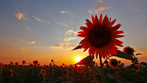 Flowering Sunflowers Landscape 29 Live Action