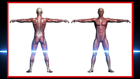 scan of Human Anatomy, man Muscles made in 3d software Animation
