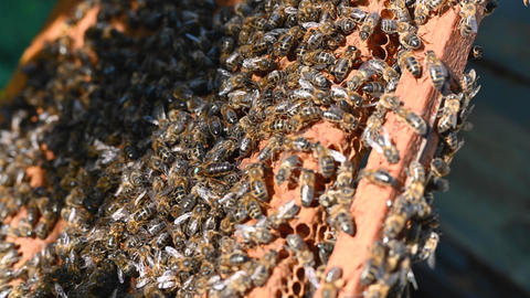 Close up of worker bees working on honeycomb, with bee queen in the foreground Live Action