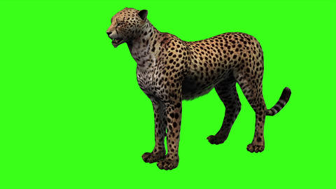 Cheetah Slow Walking and Attack on Green Screen Animation