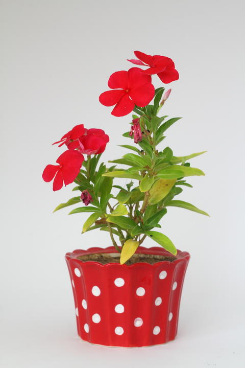 Red cyclamen in a pot isolated. On white background isolation フォト