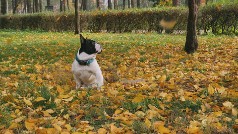 Dog surrounded yellow leaves sits on the ground Live Action
