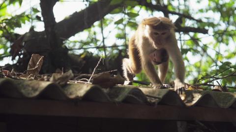 adorable small Toque macaque hangs on monkey with fair fur GIF