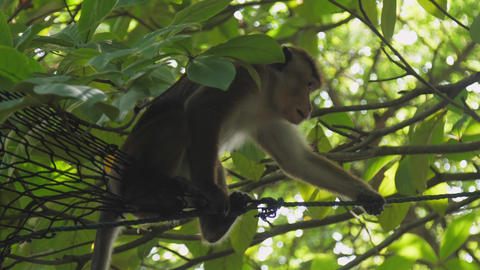 adult macaque sits on high roof and observes forest GIF