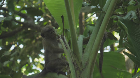 cute small red Toque macaque sits on tree and bites leaves GIF