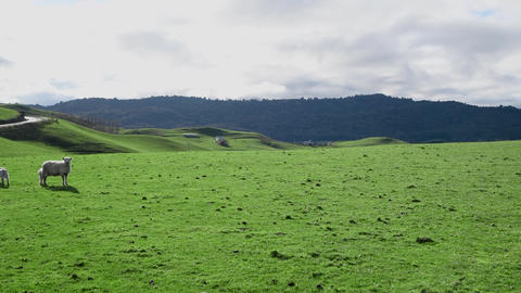 Sheeps on a beautiful meadow in New Zealand GIF