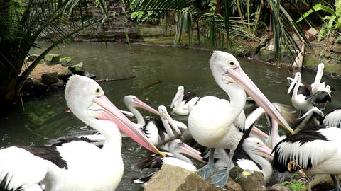 Flock of Pelicans on shore attacking young one Live Action