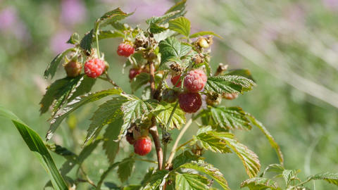 Ripe raspberries on branches in nature GIF
