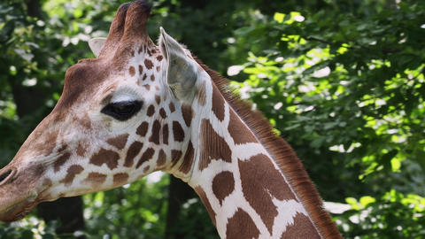 Giraffe head with neck on green background. Giraffa camelopardalis reticulata Live Action