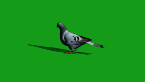 Pigeon eating food motion graphics with green screen background Animation