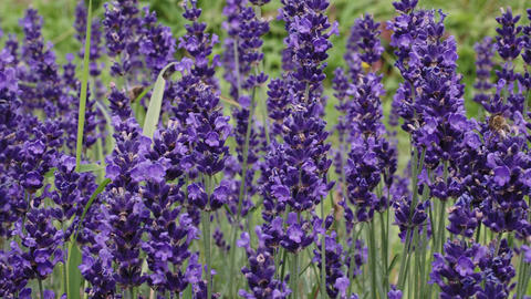 The bee pollinates the lavender flowers. Lavender field in the summer Live Action