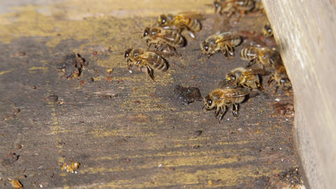 Bee colony. Bees fly into the hive. The insect lands on the fly of the hive Live Action