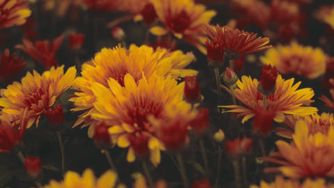 Combination Of Red And Yellow Flowers Live Action