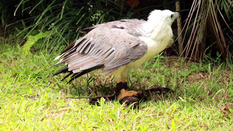 Eagle spreads its wings and hides the prey caught from humans. The bird of prey Live Action