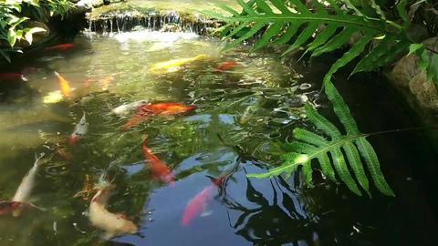 Koi Fish Swimming O A Man Made Fish Pond GIF