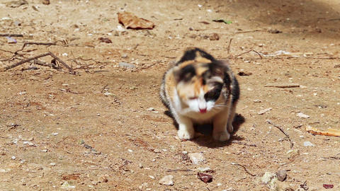 Nice Spotty Cat Sits on Ground Smells Licks Goes away Footage