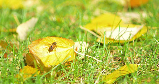 Yellow Bee Insect On A Leaf Footage