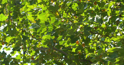 Green Tree Leaves In Autumn Footage