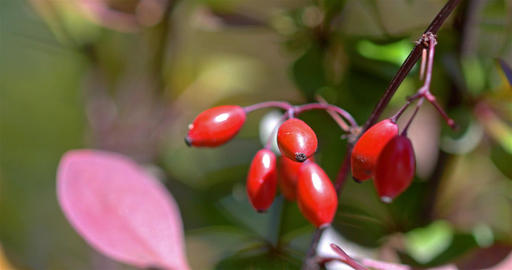 Red Poisonous Berries Close Up Footage