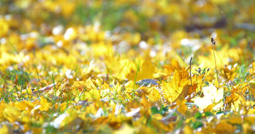 Golden Tree Leaves On Ground In Autumn Footage