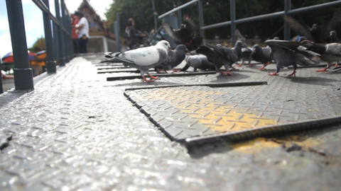 Group Of Pigeons Live Action