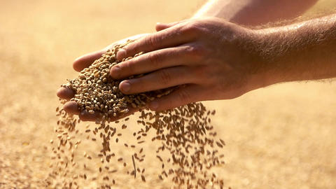 Man hands with grain close up man takes in hands the grain slow motion Live Action