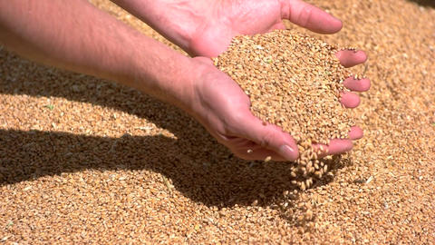 Hands take grain pile of yellow grains treasure of the land Live Action