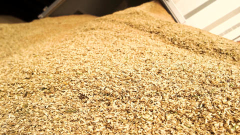 Unloading wheat close up close up heap of yellow cereals Live Action
