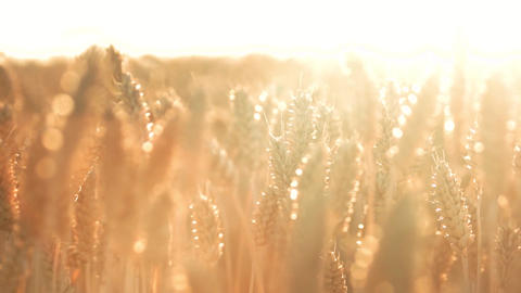 Sunshine corn harvest close up wheat crop field Live Action
