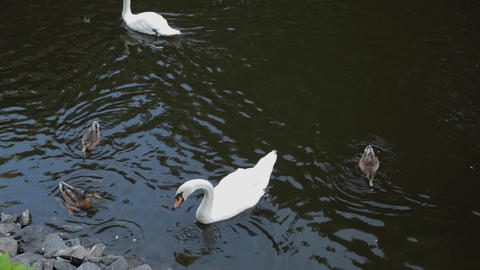 Beautiful swan and ducks swim together Live Action