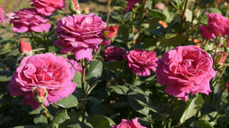 Pink roses swaying in breeze in garden Live Action