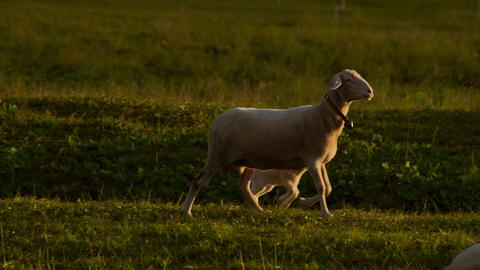 Cute sheep in a field with sunshine Live Action
