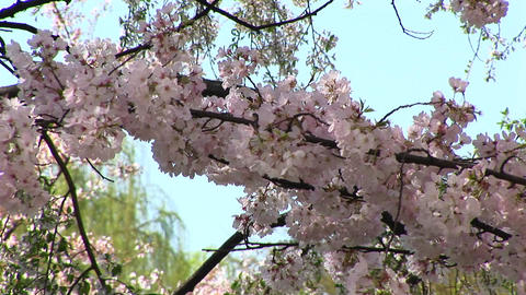 Cherry blossoms blow gently with the wind in Washington DC Stock Video Footage