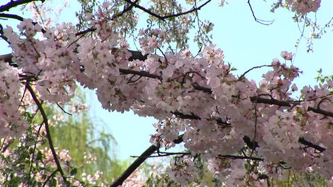 Cherry blossoms blow gently with the wind in Washington DC Live Action