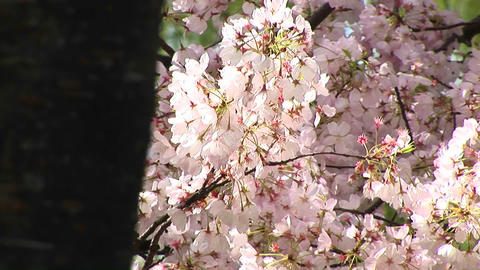 A wind gently moves a branch full of pink Cherry blossoms Stock Video Footage