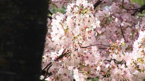 A wind gently moves a branch full of pink Cherry blossoms Footage