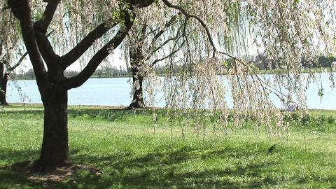 Cherry blossoms wave gently with the breeze Stock Video Footage