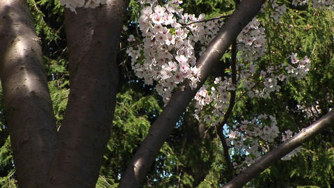 The camera slowly pans up a tree with beautiful cherry blossoms in full bloom Footage