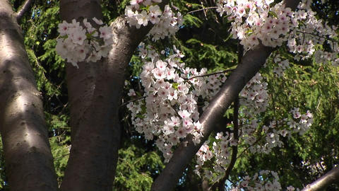 The camera slowly pans up a tree with beautiful cherry... Stock Video Footage