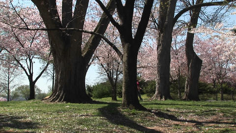 A couple walks through a beautiful park full of cherry blossoms Footage