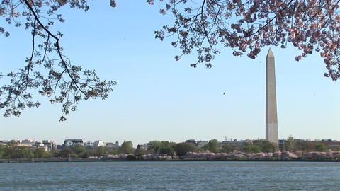 The Washington Monument is framed by beautiful cherry blossoms in East Potomac Park Footage