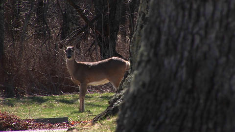 A doe grazing in a peaceful meadow but remaining alert to... Stock Video Footage