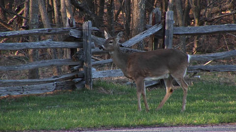 Well-hidden In A Thicket, White-tail Deer Keeping Their Tail-flags Up As They Pass Safely Through Wh stock footage