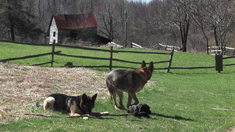 German Shepherd dogs sit in a rural field playing with a stick Footage