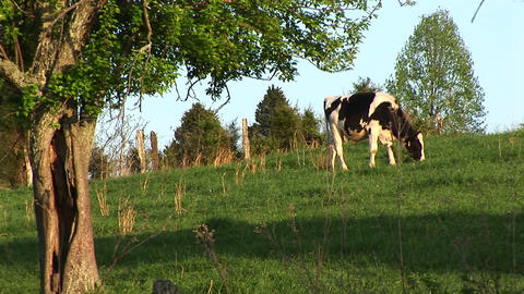 A Holstein cow grazes in a green meadow Stock Video Footage